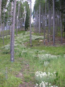 Anaphalis growing in shade of Lodgepole Pine