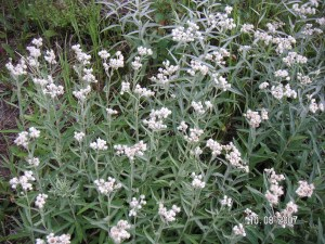 Anaphalis margaritacea, Pearly Everlasting