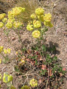 Sulfur flower, Buckwheat