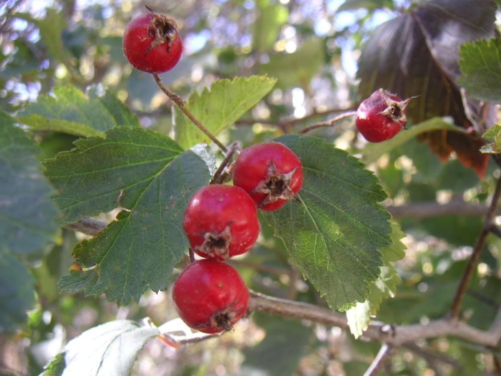 Crataegus hawthorn fruit