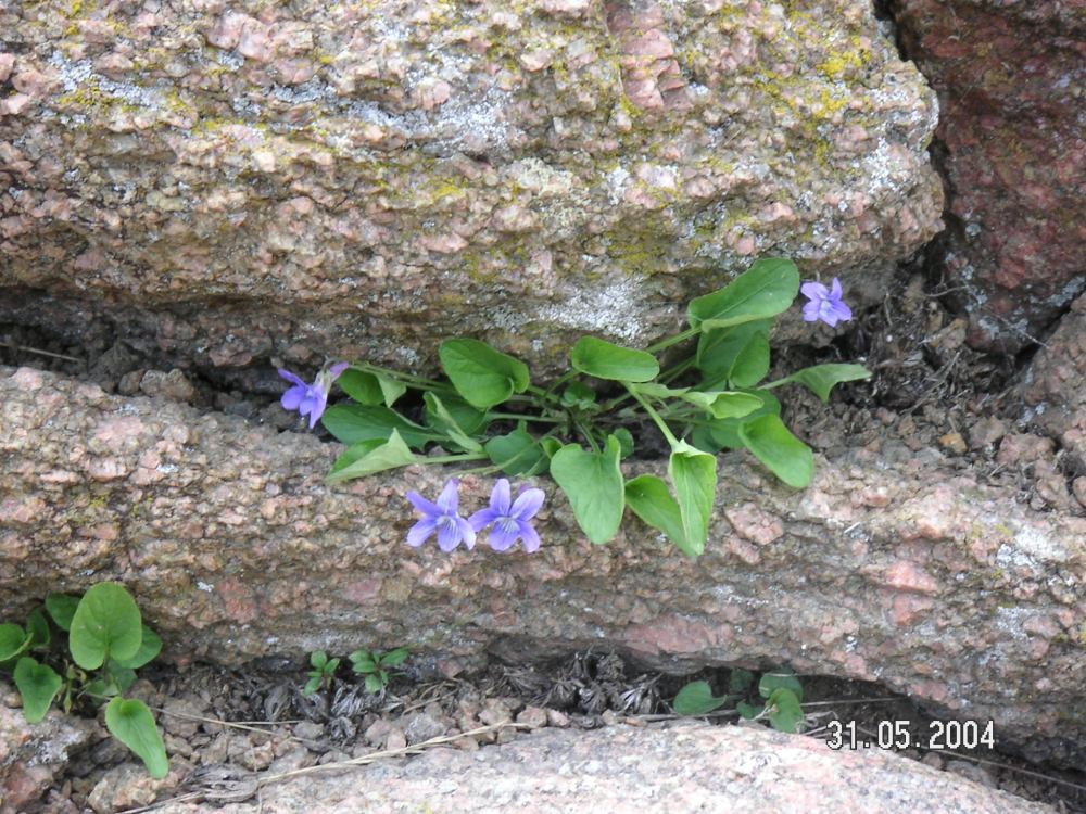 Native Violets in the Rocks