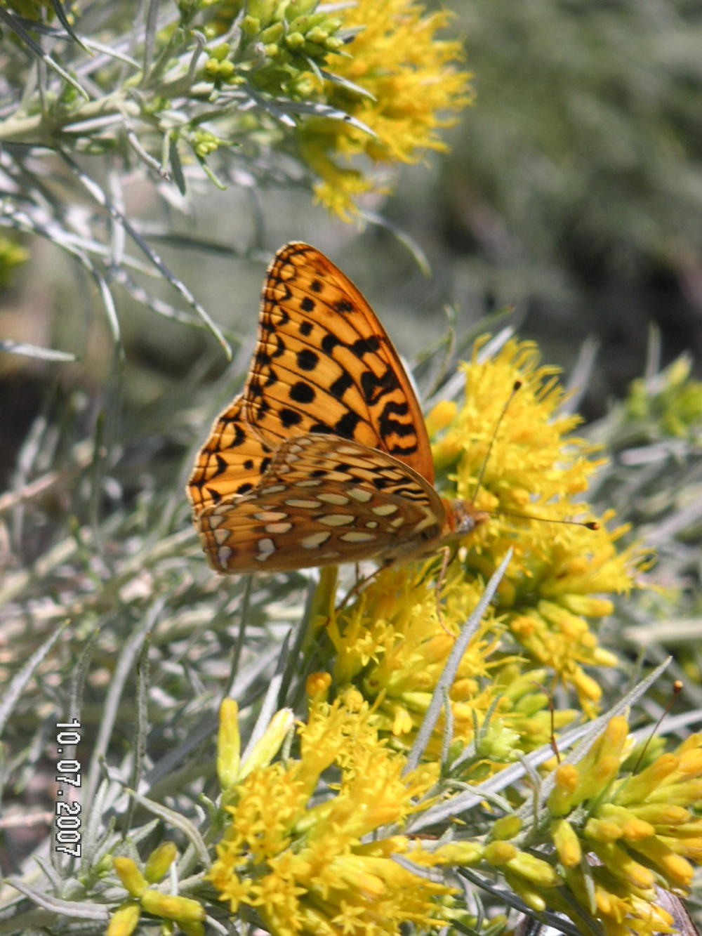 Native Rabbitbrush and Winged Beauty