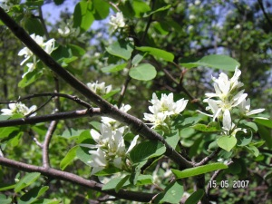 Amelanchier alnifolia Wyoming Native Tree
