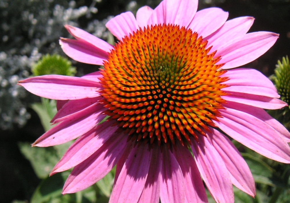 Echinacea flower in Wyoming Garden