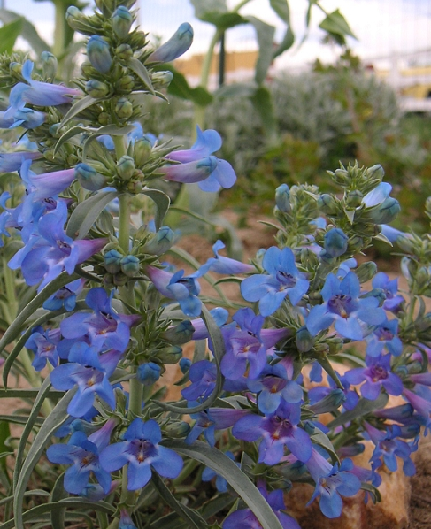 Penstemon angustifolia native to Wyoming
