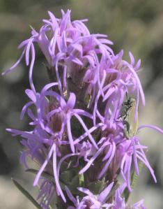Close up Liatris punctata