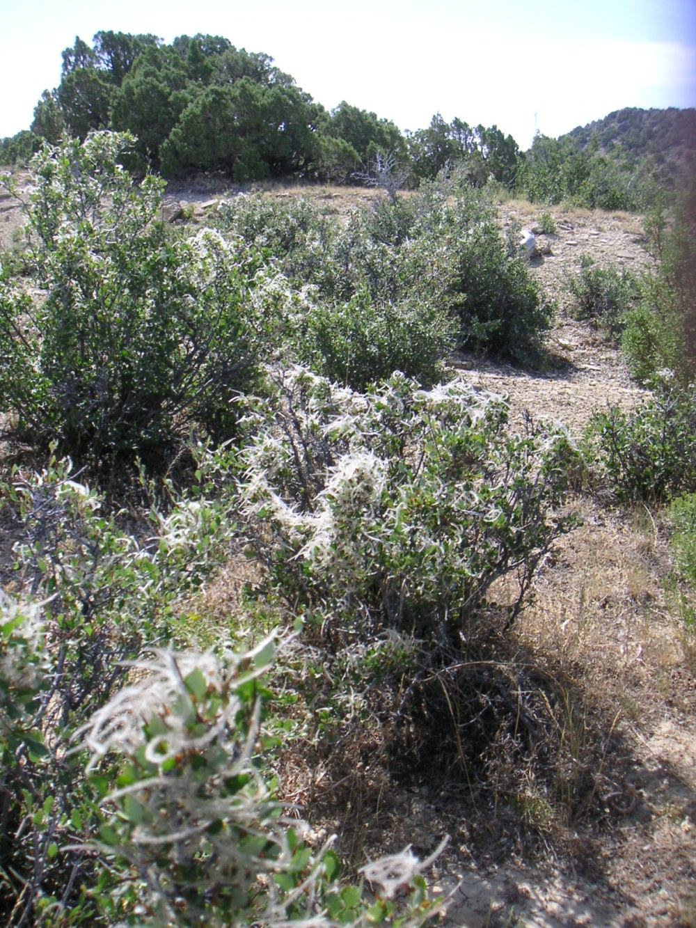 Hillside with Cercocarpus montanus