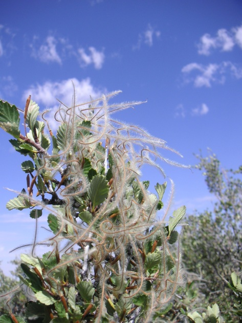 True Mountain Mahogany