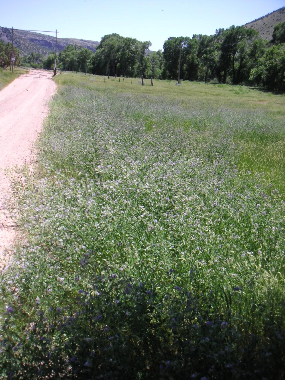 Wyoming Roadside Alfalfa