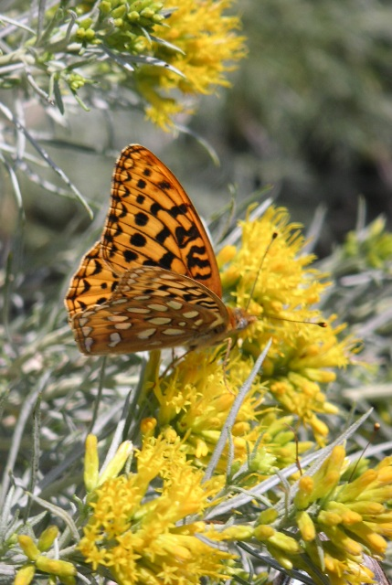 Silver Bordered Fritillary on Rabbitbrush