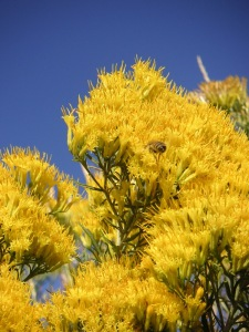 Rabbitbrush_Autumn