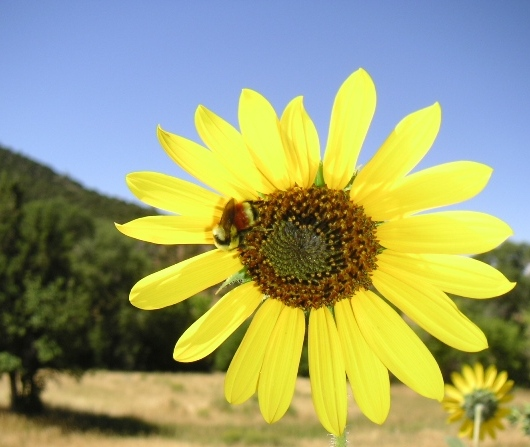 Busy Bee on Annual Sunflower, Wyoming
