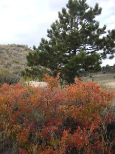 Rhus trilobata in the Wyoming Fall