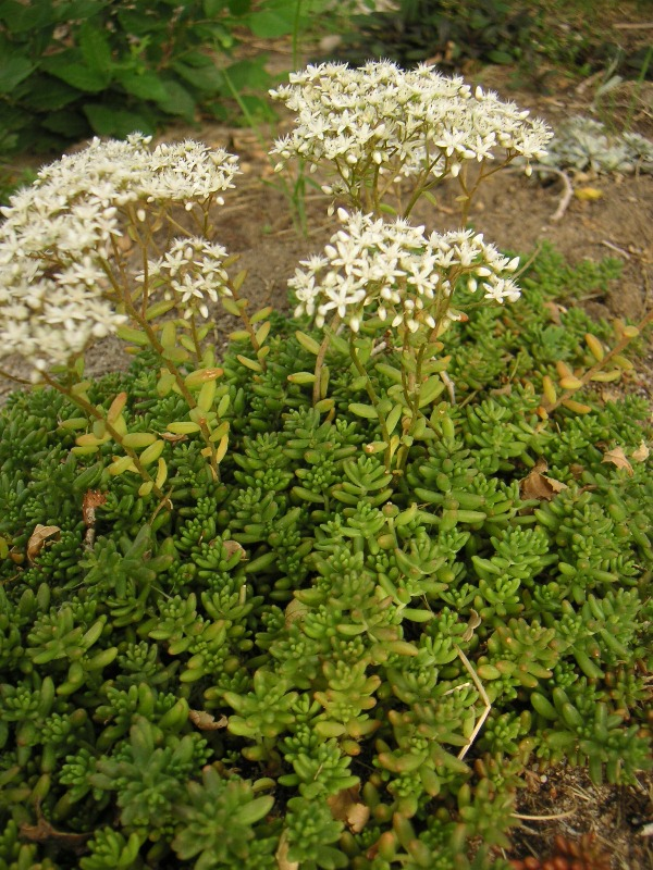 White Flowering Sedum
