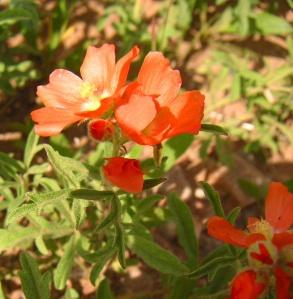 Sphaeralcea coccinea,  Wyoming Cowboy's Delight