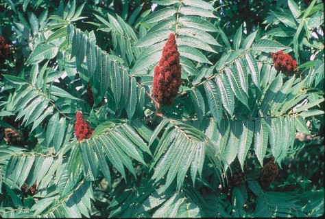 Rhus typhina, Staghorn sumac