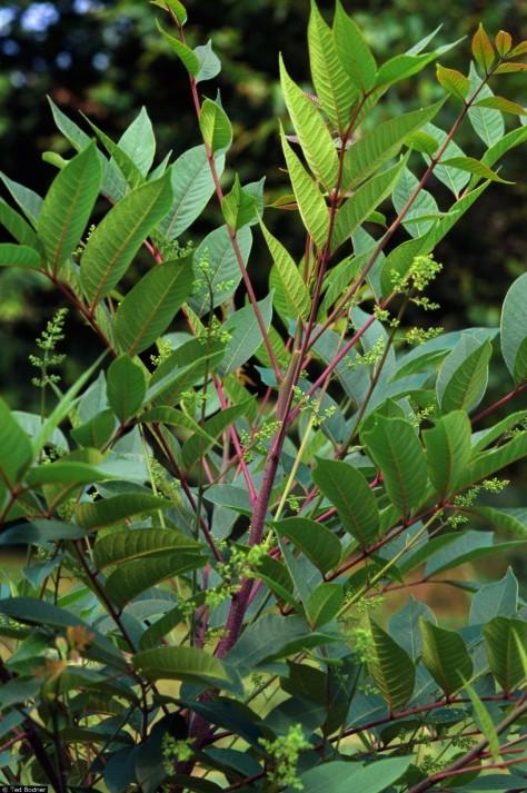 Rhus vernix, Poison sumac, Toxicodendron vernix