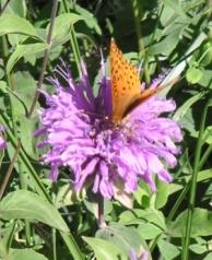 Monarda fistulosa attract butterflies