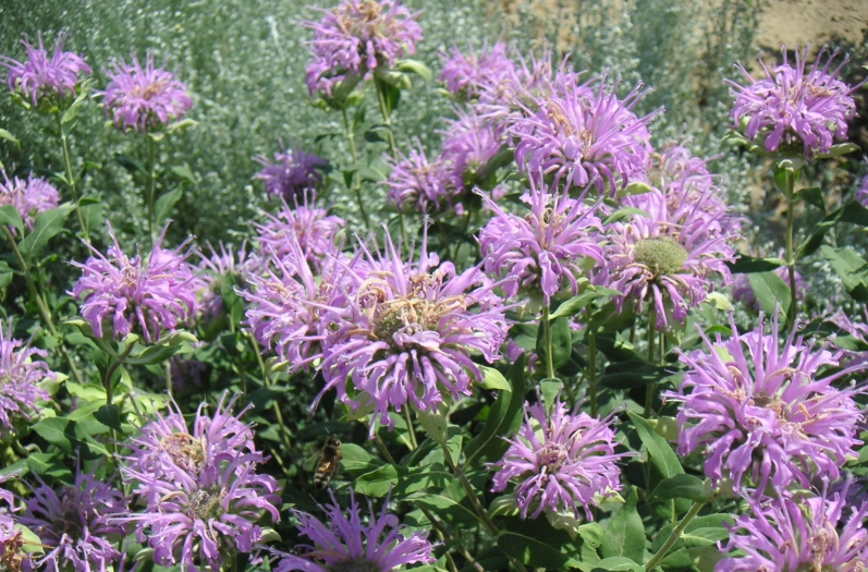 Showy Native Beebalm