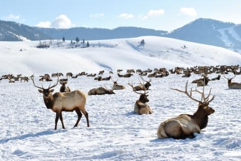 Elk Feedground, Jackson