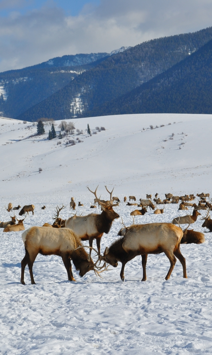Bull Elk, National Elk Refuge