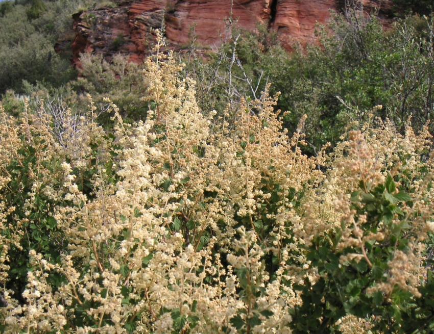 Holodiscus native shrub Wyoming