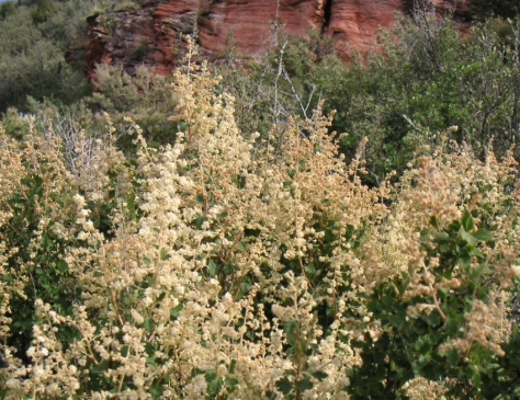 Holodiscus native shrub Wyoming