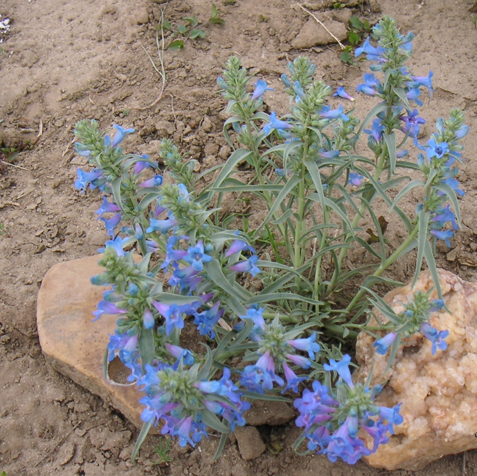 Wyoming Native, Penstemon angustifolius