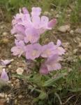 Native Wyoming Penstemons_11