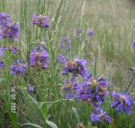 Native Wyoming Penstemons_09