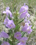 Native Wyoming Penstemons_07