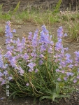 Native Wyoming Penstemons_06