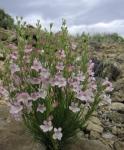 Native Wyoming Penstemons_04