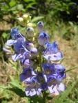 Native Wyoming Penstemons_02