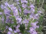 Native Wyoming Penstemons_01