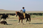 Roping Calves for Branding