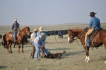 Branding Calves Wyoming