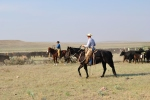 Heading and Heeling Calves for Branding