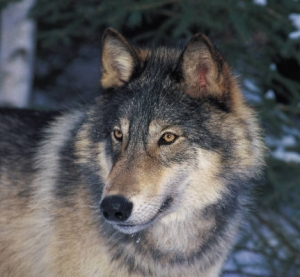 Wyoming Wolves Delisted
