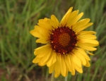 Gaillardia aristata flower, Wyoming native