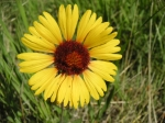 Gaillardia aristata, Blanketflower