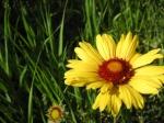 Brown Eyed Susan, Blanketflower, Gaillardia aristata