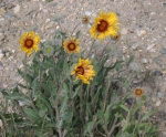 Gaillardia aristata, Wyoming native