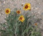Gaillardia aristata, Wyoming native