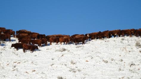 winter wyoming cattle