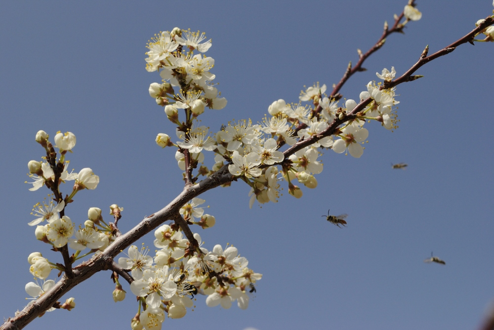 Cherry_blossoms_20150423_64