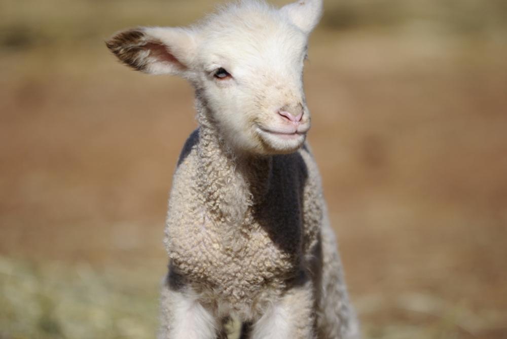 spring, wyoming, lambs