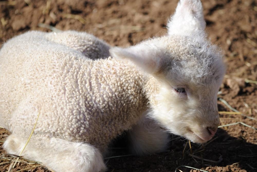 wyoming, lambs, sheep, spring