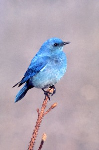Mountain_Bluebird