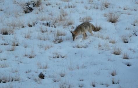 coyote_1